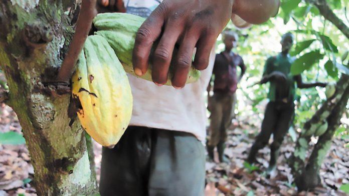 Η καλλιέργεια κακάο αποδεκατίζει τα δάση της Ακτής Ελεφαντοστού