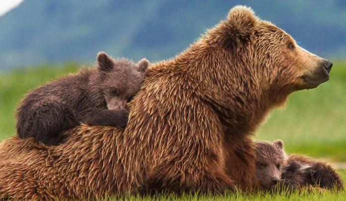 Νέα χάραξη προαναγγέλλει η Εγνατία Οδός Α.Ε. για την καφέ αρκούδα