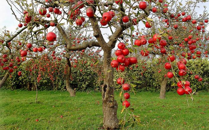 Η σωστή λίπανση των μηλεώνων επηρεάζει παραγωγή και γεύση