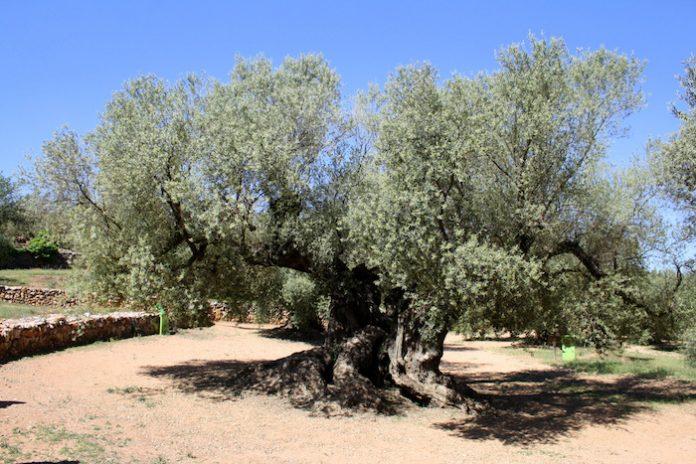 Παραδείγματα αειφορίας στους ελαιώνες της Ισπανίας