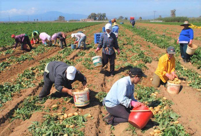 Πατατοπαραγωγοί από το Κάτω Νευροκόπι διαθέτουν 20.000 τόνους πατάτες σε τιμή παραγωγής