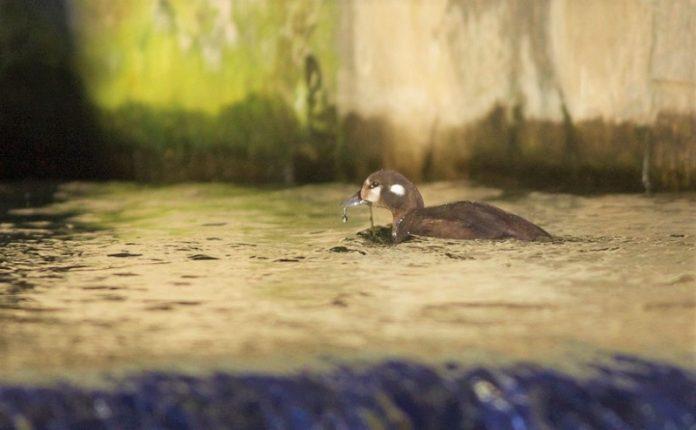 Σπάνιο είδος πάπιας εμφανίστηκε σε πάρκο του Πεκίνου