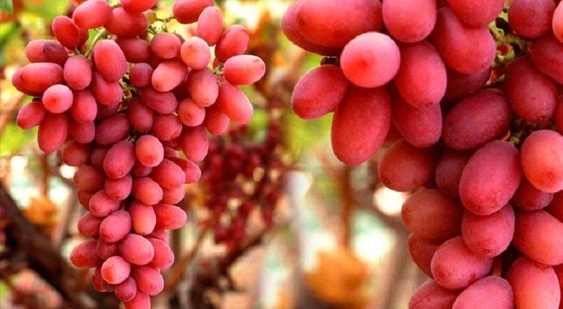 Με αυστηρές γεωργικές πρακτικές η συγκομιδή των «Crimson» στους αμπελώνες του Ολύμπου