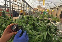 Kannabis-farmakeftiki