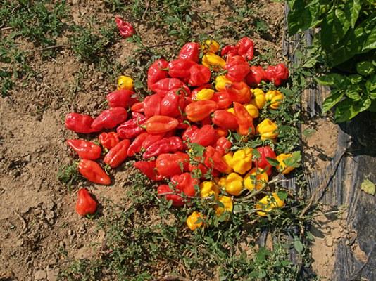 Κόκκινη πιπεριά με γεύση εσπεριδοειδών
