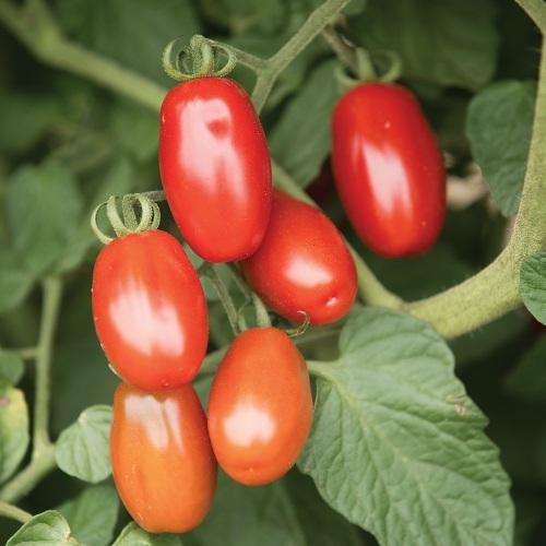 Πολύ γλυκιά, βαθιά κόκκινη ντομάτα
