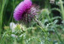 Γαϊδουράγκαθο: Βότανο για αποτοξίνωση με εξαιρετικές ιδιότητες στην υγεία