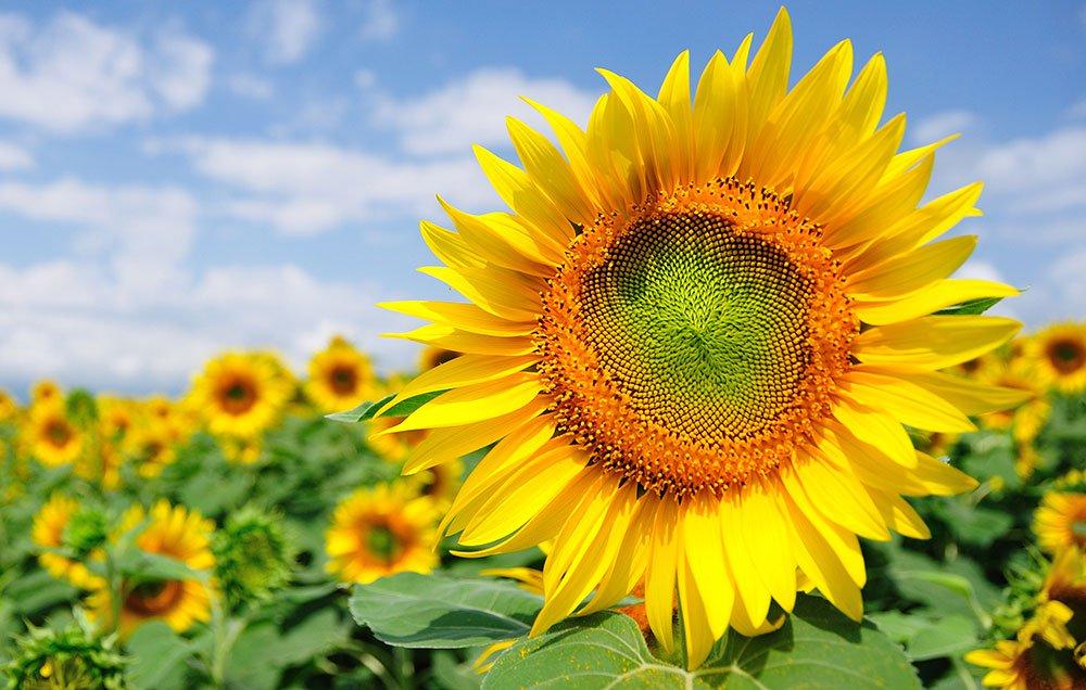 Ο ηλίανθος κατέχει την τρίτη θέση στην παγκόσμια παραγωγή ελαιούχων σπόρων μετά τη σόγια και το βαμβάκι.