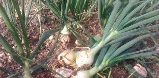 ΘΗΒΑ: Ξεκίνησε η συλλογή του λευκού κρεμμυδιού
