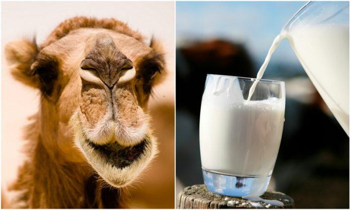 Αυστραλία: Το γάλα καμήλας αναδεικνύεται σε δυναμικό τομέα ανάπτυξης