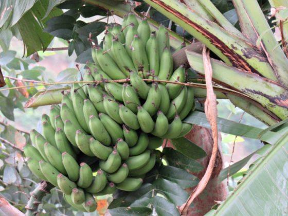 συνεταιρισμό μπανανοπαραγωγών
