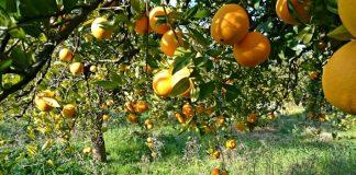 portokalia-dentra