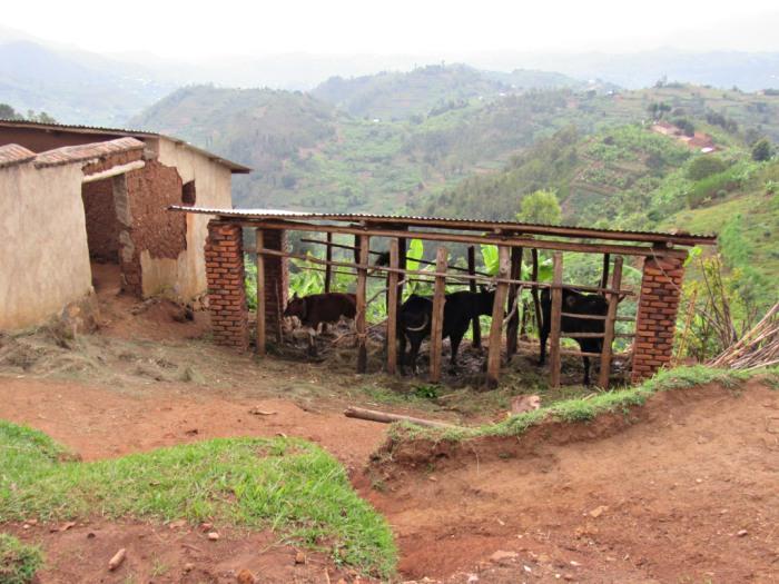 Ρουάντα: «Πέντε αγελάδες για να έχουμε λίπασμα»