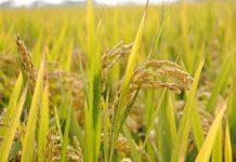 Η ΕΕ επαναφέρει τους δασμούς στο ρύζι από Καμπότζη και Μιανμάρ
