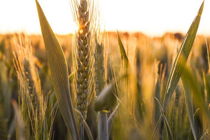 Γενετικά μυστικά μπορούν να διαμορφώσουν το μέλλον του σιταριού