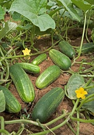 αγγούρι καλλιέργεια