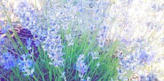 Δυναμικά προχωράει ο Νομός Έβρου στην καλλιέργεια αρωματικών φυτών, με τη λεβάντα να κρατάει τα σκήπτρα.