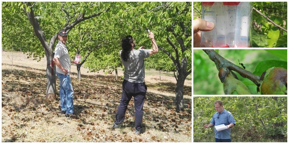 Χιλιάδες ωφέλιμα έντομα στη μάχη για τον περιορισμό της σφήκας της καστανιάς
