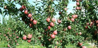 Ζαγορά: Ευεργετική η βροχή για τα μήλα αλλά καταστροφική για τα κεράσια