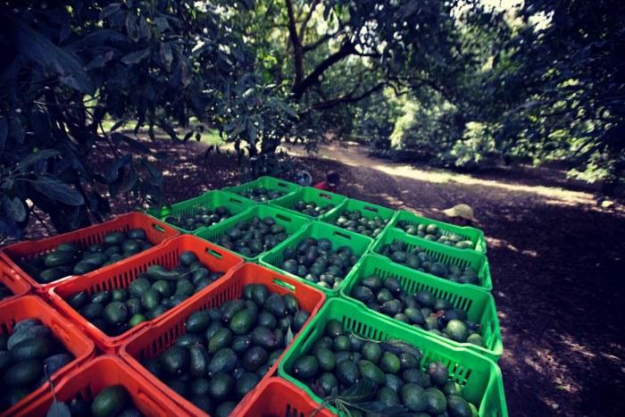 αβοκαντο καλλιέργεια : το κόστος παραγωγής δεν ξεπερνά τα 30-40 λεπτά/κιλό