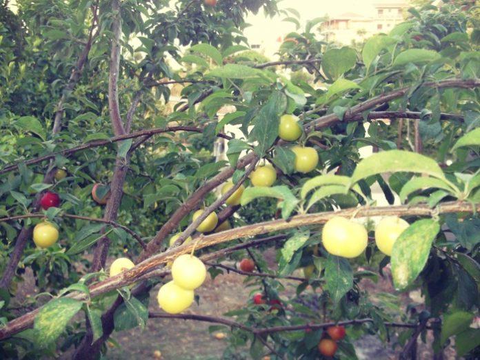 Κορομηλιά: Ταυτισμένη με παραδοσιακές καλλιέργειες