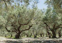 Κρήτη: Δραματική λόγω ανομβρίας η ελαιοπαραγωγή στη Βιάννο