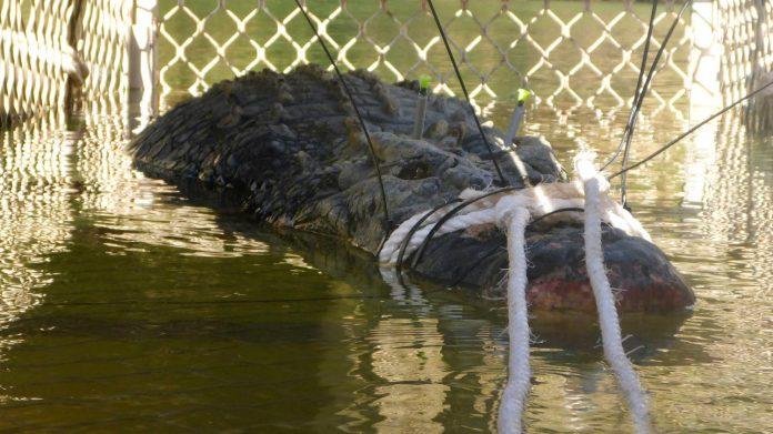 Πιάστηκε θαλάσσιος κροκόδειλος πέντε μέτρων και 600 κιλών στην Αυστραλία