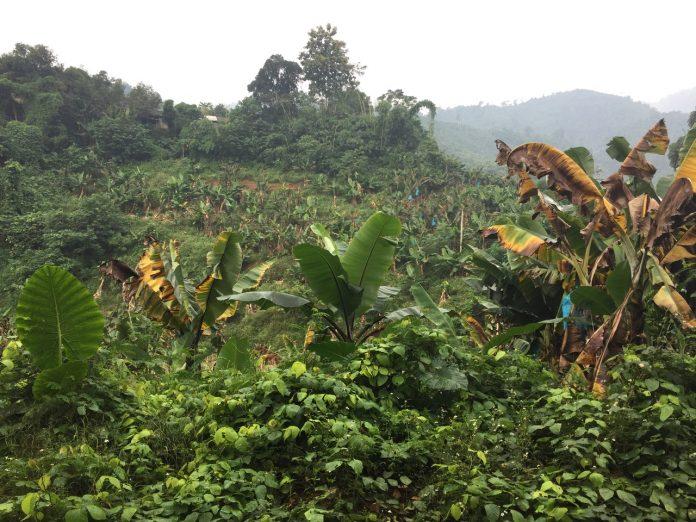 Η Chiquita και το πανεπιστήμιο Wageningen στηρίζουν το παγκόσμιο συνέδριο για την καταπολέμηση της νόσου του Παναμά