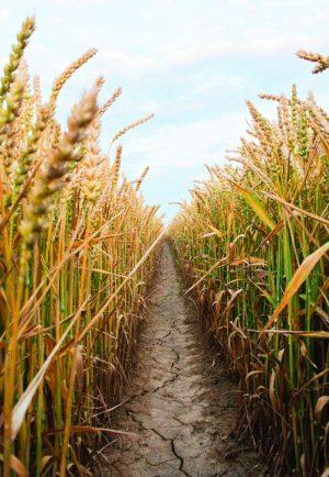 Στους 145 εκατ. τόνους εκτιµάται τον Ιούλιο η παραγωγή µαλακού σίτου στην ΕΕ, µειωµένη 4% σε σχέση µε τον µέσο όρο της πενταετίας.