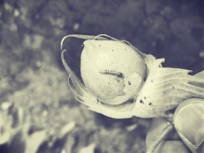 Το πράσινο σκουλήκι έχει πολλούς φυσικούς εχθρούς γι' αυτό πρέπει να αποφεύγονται οι άσκοποι ψεκασμοί.