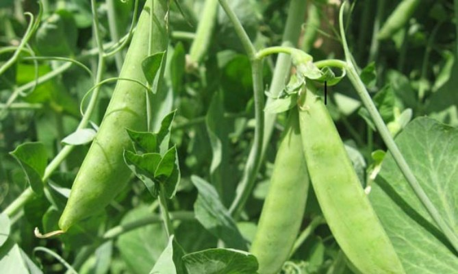 Η καλλιέργεια των ψυχανθών