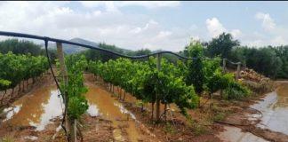 Αίτημα εκκίνησης διαδικασιών καταγραφής ζημιών των αμπελιών του Δήμου Παγγαίου