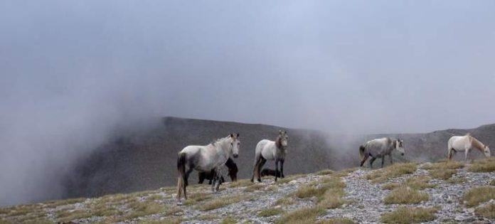 Άγρια άλογα Ολύμπου: Οι απόγονοι του Βουκεφάλα καλπάζουν και μαγεύουν τους επισκέπτες (φωτός)