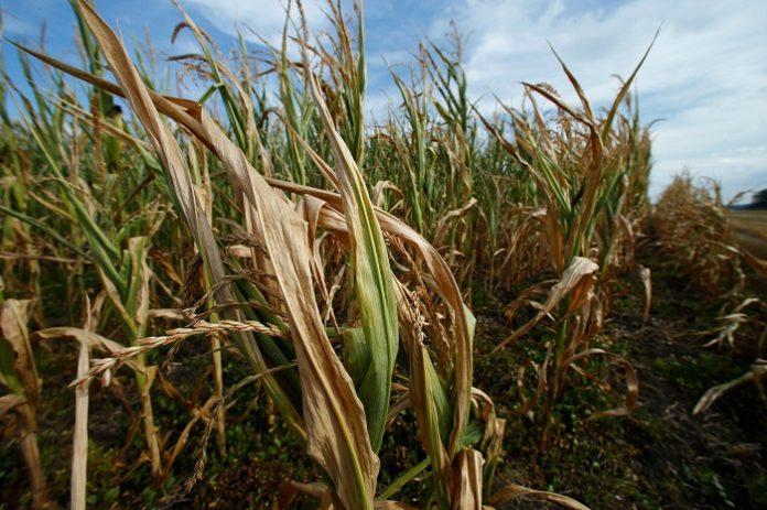 Αντίβαρο η νότια Ευρώπη στη χαμηλή παραγωγή καλαμποκιού του Βορρά