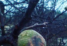 Ευβοια: Ολική η καταστροφή των σύκων από τις βροχοπτώσεις