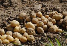 Οδηγίες για την ορθή συγκομιδή πατάτας από την ΔΑΟΚ Μεσσηνίας