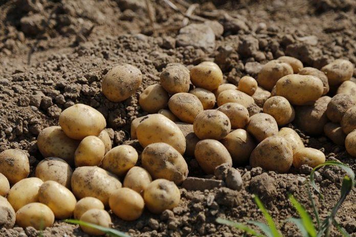 Περιορισμός του σιδηροσκώληκα στην καλλιέργεια της πατάτας