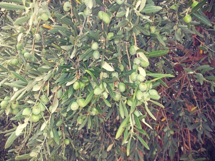 Πρωιµότερη θα είναι η φετινή συλλογή της πράσινης ελιάς στην περιοχή της Φθιώτιδας.