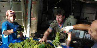 Πρωιμότερος ο τρύγος φέτος στην Πιερία