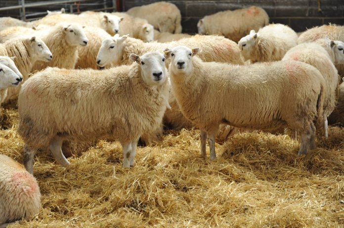 Καθορίστηκε το ύψος της συνδεδεμένης στο αιγοπρόβειο και βόειο κρέας και τη σηροτροφία