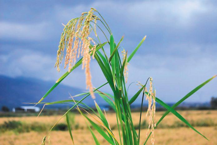 Το 1ο Πανελλήνιο Συνέδριο Ρυζιού στις 25 Ιανουαρίου στη Θεσσαλονίκη