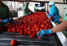 Βιομηχανική ντομάτα: Με βαριά καρδιά το τέλος της καμπάνιας