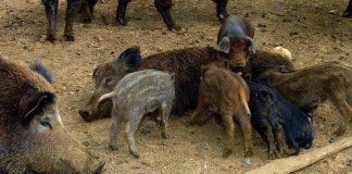 Υπουργική απόφαση για τις ζημιές από ημίαιμους χοίρους και αγριόχοιρους