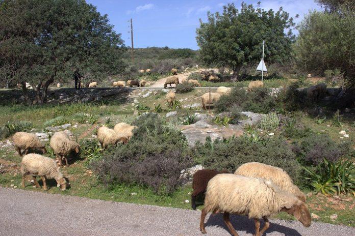 Ανακοίνωση της ΔΑΟΚ Π.Ε. Λακωνίας για τις δηλώσεις ΟΣΔΕ σε αιγοπρόβατα και χοίρους