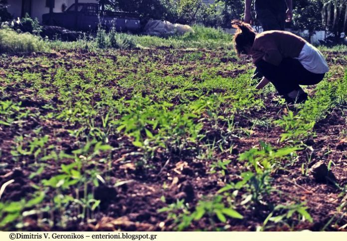Η πρώτη καλλιέργεια βιομηχανικής κάνναβης στην Αιτωλοακαρνανία αποδίδει καρπούς