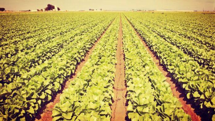 καλλιέργεια μαρουλιού υπό συμβάσεις με εταιρείες που παρασκευάζουν έτοιμες σαλάτες να κερδίζουν ολοένα έδαφος
