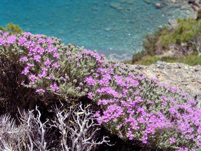 Στην Ελλάδα το όνομα «θυμάρι» είναι συνώνυμο με τη λέξη «μέλι»