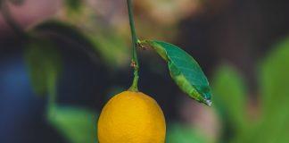 Χαμηλότερη εκκίνηση φέτος για το λεμόνι, με τιμή παραγωγού στα 80 λεπτά