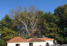 Ενημέρωση και άμεσες δράσεις από τον Δήμο Τρικκαίων η ασθένεια των πλατανιών