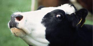 Εντοπίστηκε κρούσμα της νόσου των τρελών αγελάδων στη Σκοτία